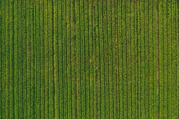 Vista aerea della foresta di campi di mais