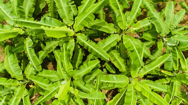 Vista aerea delle banane sulla piantagione