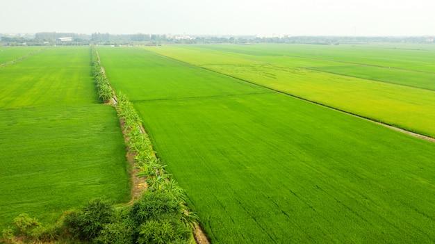 Vista aerea delle risaie gialle e verdi