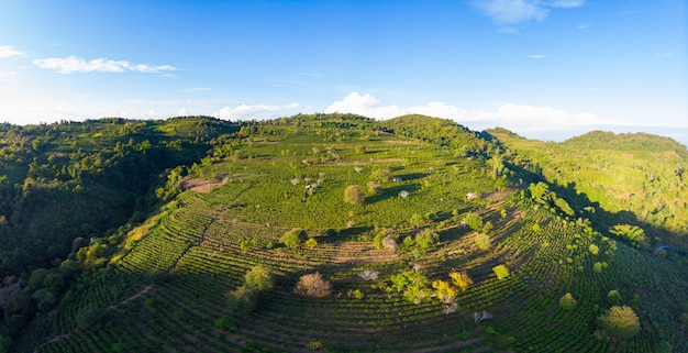 Vista aerea unica della piantagione di tè sulla collina. i raccolti di tè verde di camelia nel modello di fila. chiaro cielo blu, luce del tramonto. terreni agricoli nel nord del laos