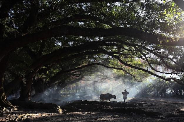 Vista affascinante di un abitante di un villaggio cinese con una mucca nella foresta durante l'alba a xia pu, cina