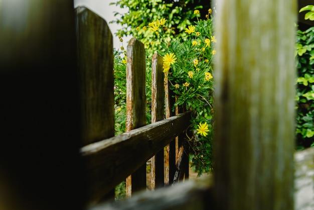 Vista attraverso le recinzioni in legno invecchiato di un giardino di cespugli di margherite gialle