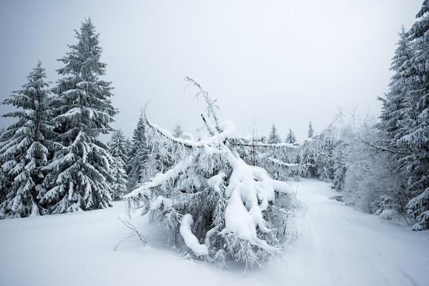 Vista dal basso bei abeti nevosi snelli
