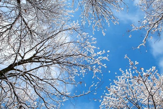Vista dal basso degli alberi coperti di neve nella foresta