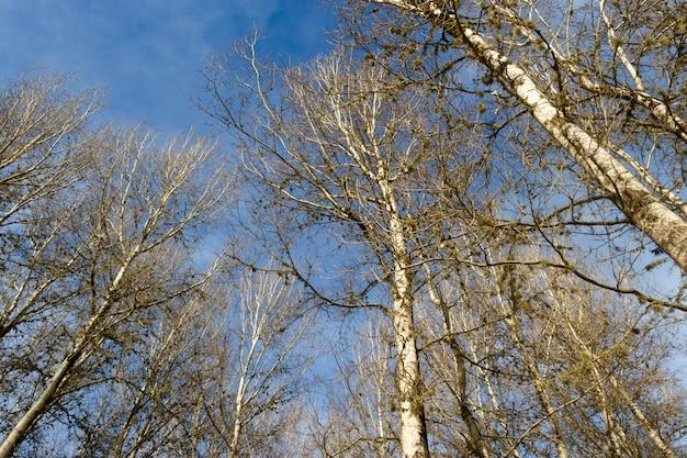 Vista dal basso dei pini senza foglie in inverno