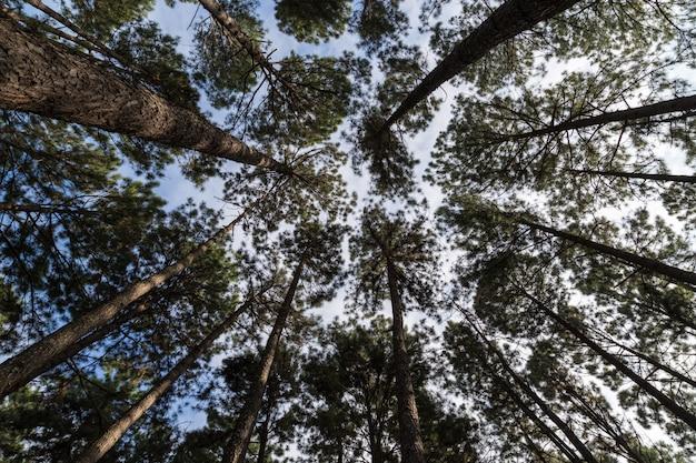 Vista dal basso della foresta verde nella foresta sempreverde. foresta verde in una giornata di sole.