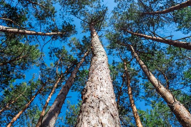 Vista dal basso di alti pini vecchi nella foresta sempreverde