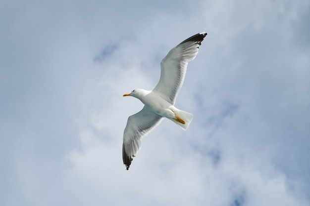 Vista dal basso di gabbiano che vola alto