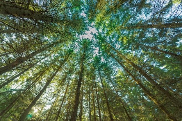 Vista dal basso di vecchi alberi alti nella foresta primordiale sempreverde della scandinavia