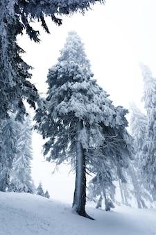 Vista dal basso enormi abeti innevati chic crescono nel mezzo di una collina con la neve.