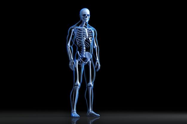 Vista dal raggio di posa dello scheletro umano. illustrazione 3d anatomica