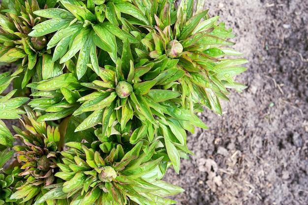 Vista dall'alto delle foglie e boccioli di peonia verde con gocce