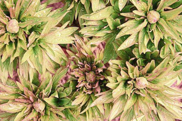 Vista dall'alto di foglie di peonia verde e boccioli con gocce di pioggia