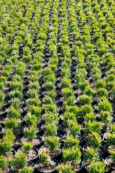 Vista dall'alto di piccoli thuja occidentalis nel garden center. vivaio di conifere all'aperto.