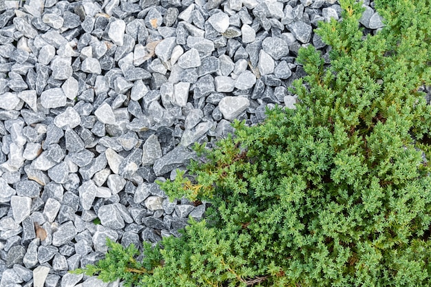 Vista dall'alto di un ginepro decorativo che cresce circondato da pietre bianche.