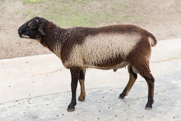 Vista dei capelli di scarsità delle giovani pecore marroni e bianche lanuginose del bambino dal lato all'aperto del parco dell'azienda agricola delle pecore