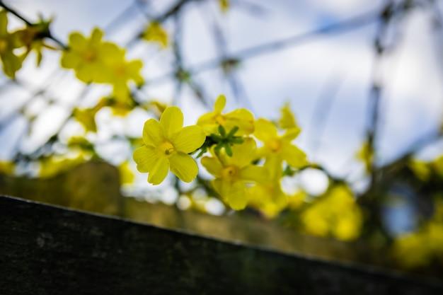 Vista dei fiori di inverno di gelsomino giallo su uno sfondo di cielo blu.