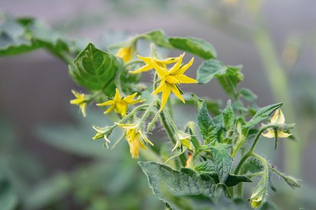 Vista dei fiori gialli del pomodoro. fioritura abbondante. il concetto di piante agricole, fiori, sfondo, giardino.