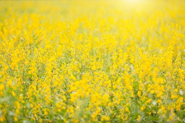 Vista del campo giallo di sunn hemp o di crotalaria juncea nel campo