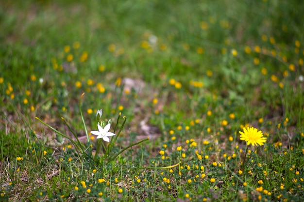 Vista del fiore di tarassaco