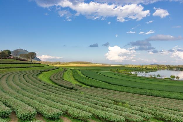 Vista del paesaggio della piantagione di tè con cielo blu nel pomeriggio