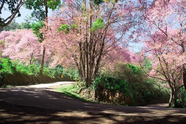 Vista del punto di perno di tornitura sulla strada della montagna con l'albero di sakura lungo la strada nel primo mattino