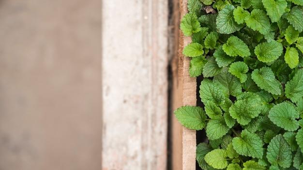 Vista dell'angolo alto delle foglie di menta della carta verde in serra