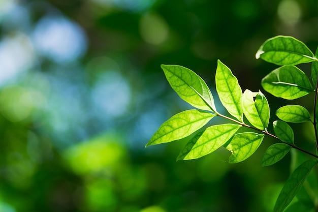 Vista della natura del primo piano della foglia verde sul fondo vago della pianta con luce solare usando come concetto del fondo