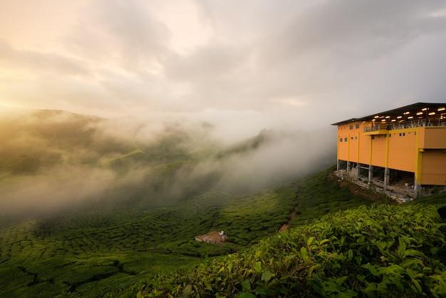Vista della piantagione di tè nel tempo tramonto / dell'alba dentro in altopiani di cameron, malesia.