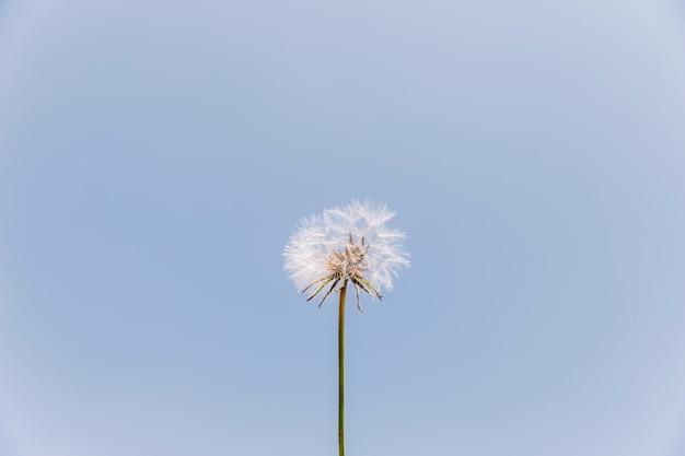 Vista di angolo basso di un fiore del dente di leone contro il chiaro cielo