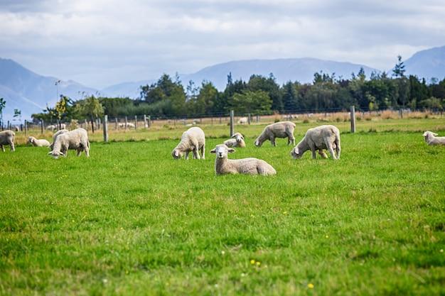 Vista di pascolo delle pecore su un prato, isola del sud nuova zelanda