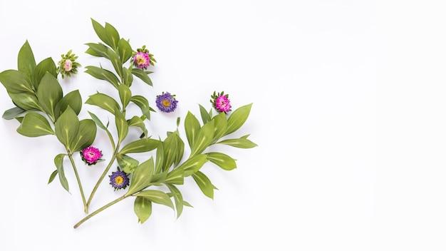 Vista elevata dei fiori dentellare e viola su priorità bassa bianca