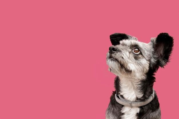 Vista frontale del cucciolo adorabile della razza mista che guarda a sinistra con lo spazio della copia