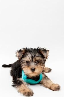 Vista frontale del cucciolo carino yorkshire terrier con copia spazio