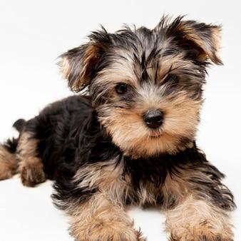 Vista frontale del cucciolo di cane adorabile yorkshire terrier
