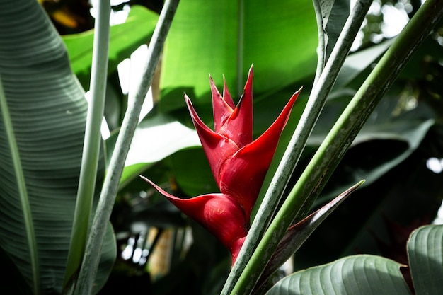 Vista frontale del fiore tropicale di heliconia