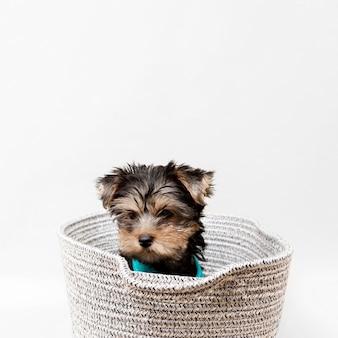 Vista frontale del simpatico cucciolo di yorkshire terrier nel cestello