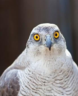 Vista frontale della testa di falco