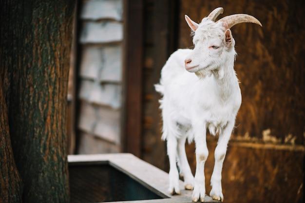 Vista frontale di una capra del bambino che osserva via
