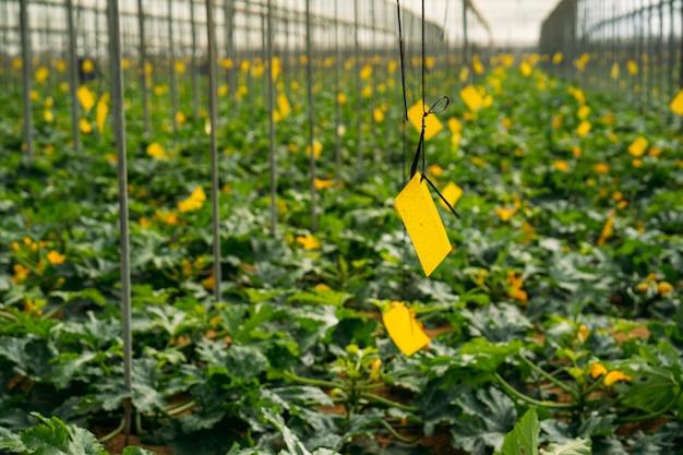 Vista generale della coltivazione di zucchine biologiche in una serra commerciale