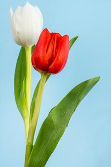 Vista laterale dei tulipani di colore bianco e rosso sulla tavola blu