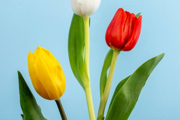 Vista laterale dei tulipani rossi, bianchi e gialli di colore sulla tavola blu