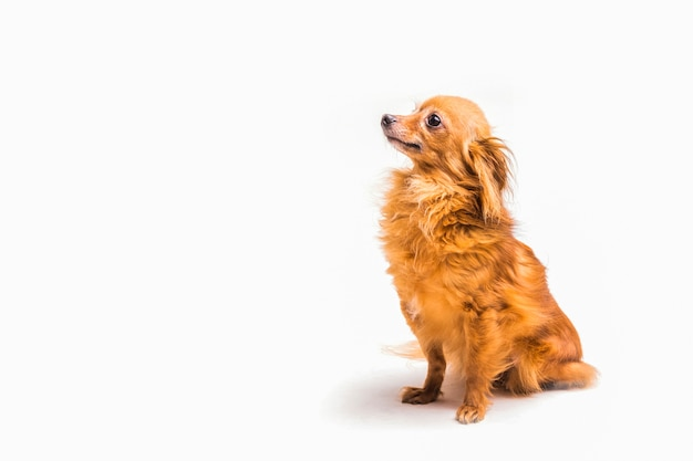 Vista laterale del cane obbediente che si siede sopra la priorità bassa bianca