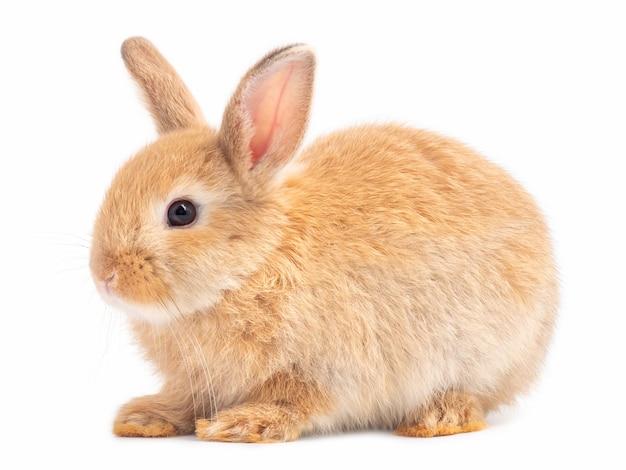 Vista laterale del coniglio sveglio del bambino arancione-marrone