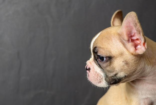 Vista laterale del simpatico piccolo bulldog francese