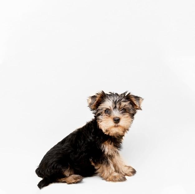 Vista laterale dell'affascinante cucciolo di yorkshire terrier con copia spazio