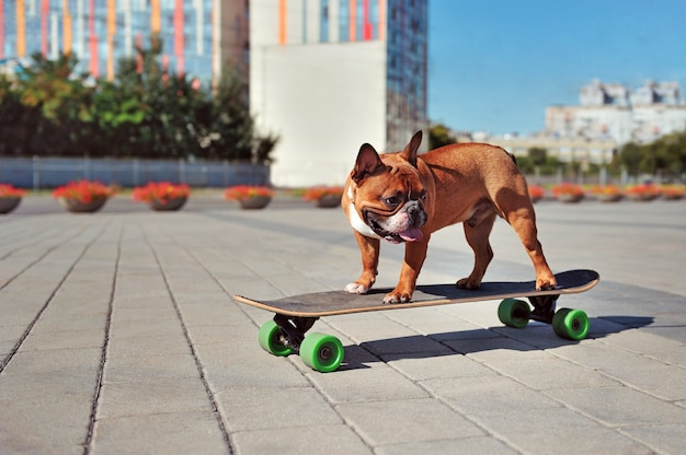 Vista laterale dell'una skateboarder di un bulldog francese