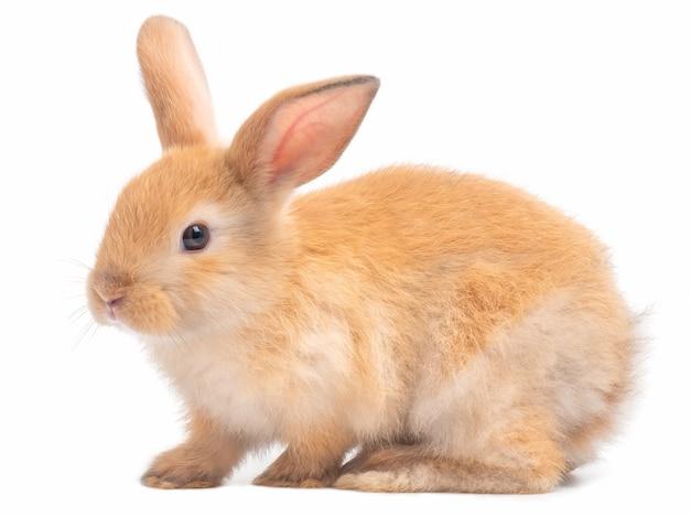 Vista laterale di coniglio sveglio marrone-rosso isolata su fondo bianco.
