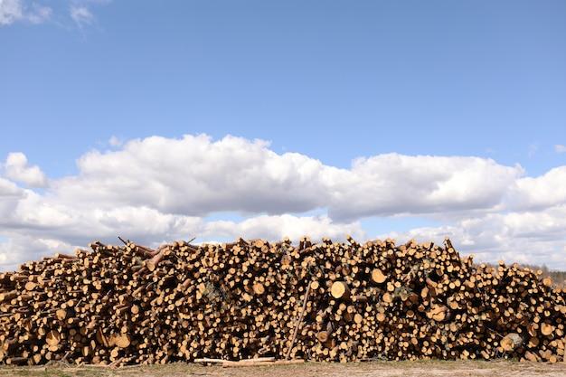 Vista laterale di legname commerciale, tronchi di pino dopo il taglio netto della foresta. deforestazione incontrollata. messa a fuoco selettiva.