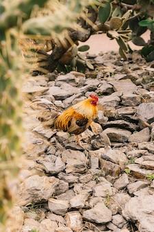 Vista laterale di un gallo sulla roccia